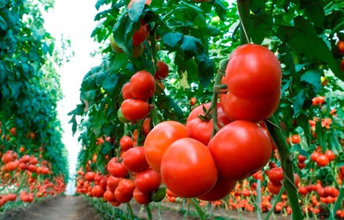 Спелые толстостенные помидоры