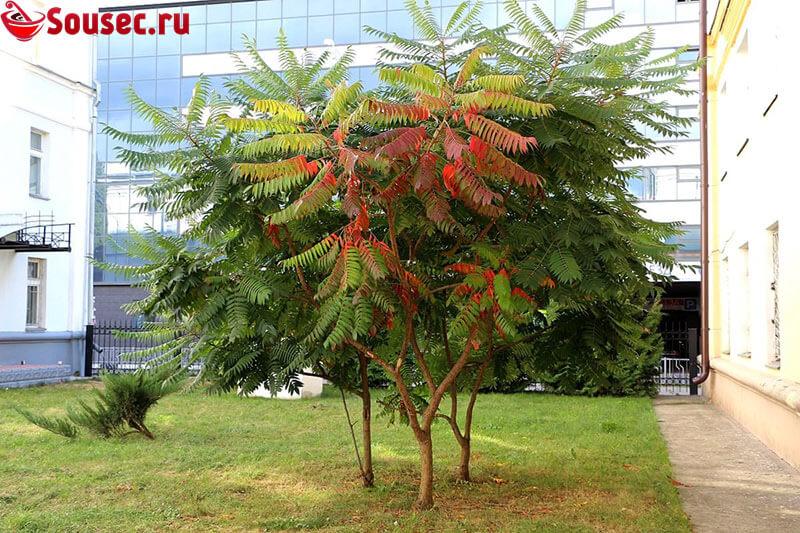 Дерево сумах для декора