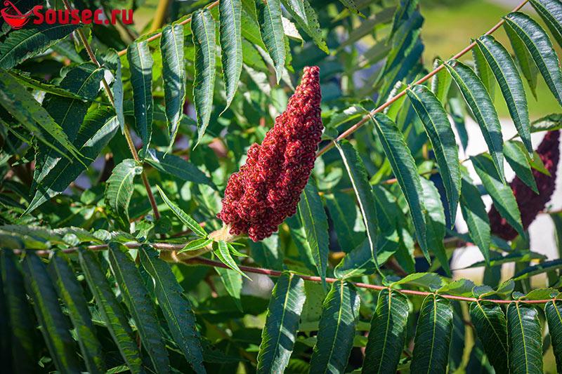 Широколиственное растение Сумах